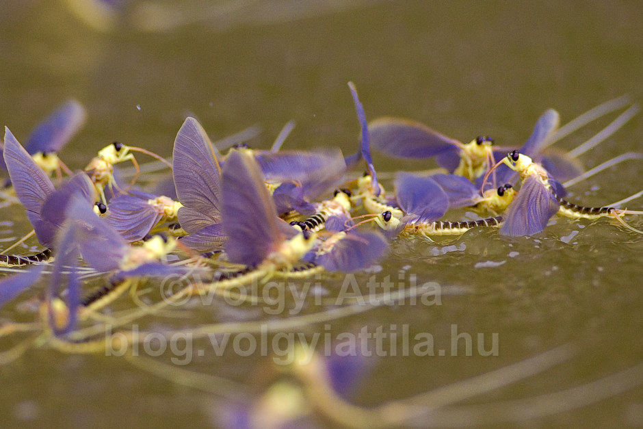 Long-tailed mayfly swarm