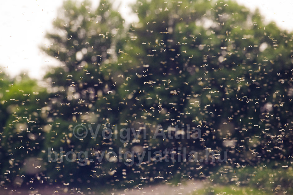 Long-tailed mayfly swarm