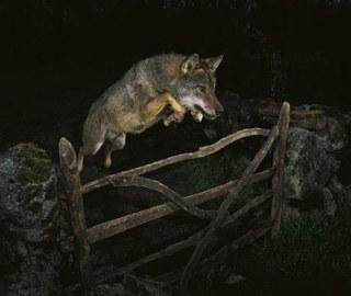 Botrányos ugró farkas