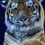 A tigris egy vadállat