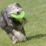 Frizbiző kutyák röpködnek mindenhol