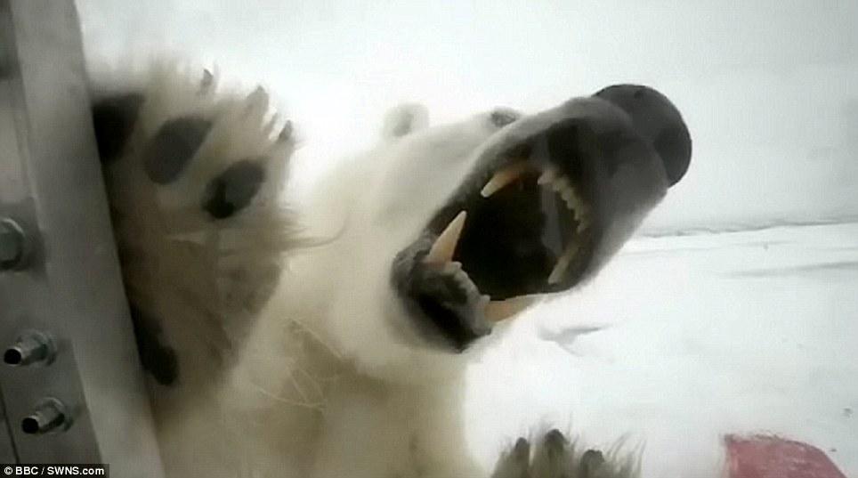 PolarBear-attack-BBC-photoGordonBuchanan