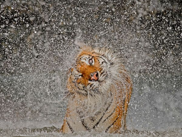 Tiger-water-drops-NationalGeographicContest-winner-photoAshleyVincent