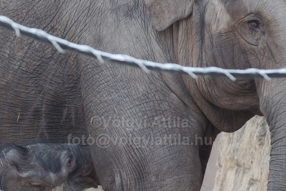 Captive born baby Asian elephant introduced