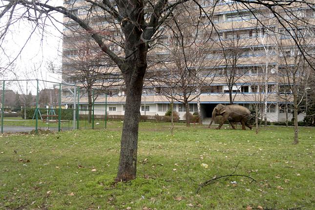20130321-elszabadult-elefant-zalaegerszeg-olvasioFoto-SinkaGaborOrigo