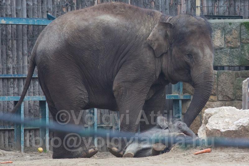 Captive born baby elephant