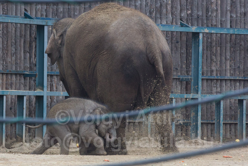 Captive born baby elephant