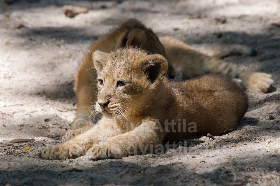 Captive born baby lions
