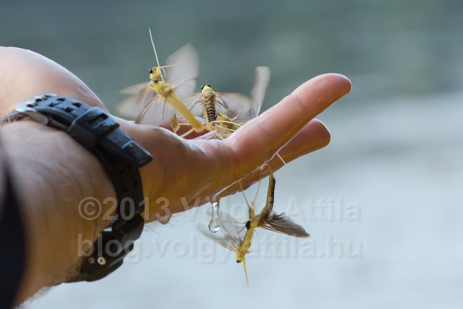 Handful of long-tailed mayfly swarm