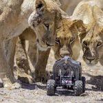A legújabb távvezérelt oroszlánfotók Afrikából