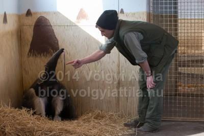 Így nyújtogatja a nyelvét egy hangyászFotó: Völgyi Attila / blog.volgyiattila.hu