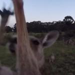 Lecsapta a kenguru a drónt