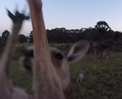 Kangaroo-hit-drone-NewZulu-Youtube