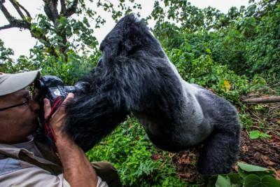 Így nézett ki a gorillatámadásFotó: Christophe Vasselin