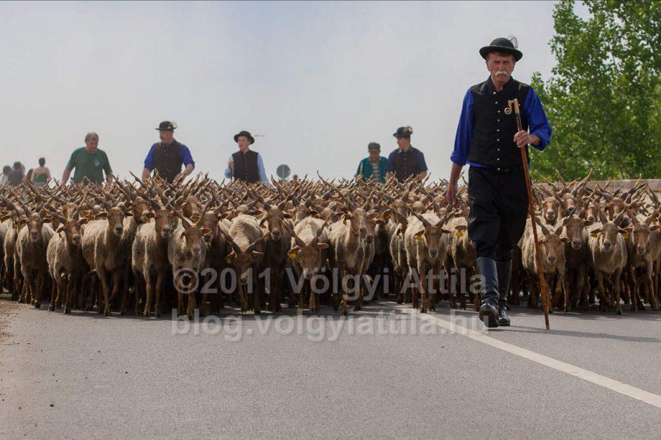 http://attilavolgyi.photoshelter.com/gallery/New-gazing-season-in-Hortobagy-2011/G0000vtO_3VDPGF4/C0000.o82JyLDxSQ