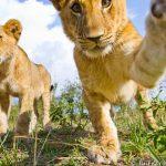 Cuki oroszlánkölyök testközelből