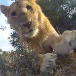 Így játszik egy oroszlán a GoPro kamerával