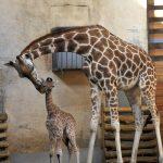 Állatvilág: Ilyen látvány egy zsiráfbébi születése