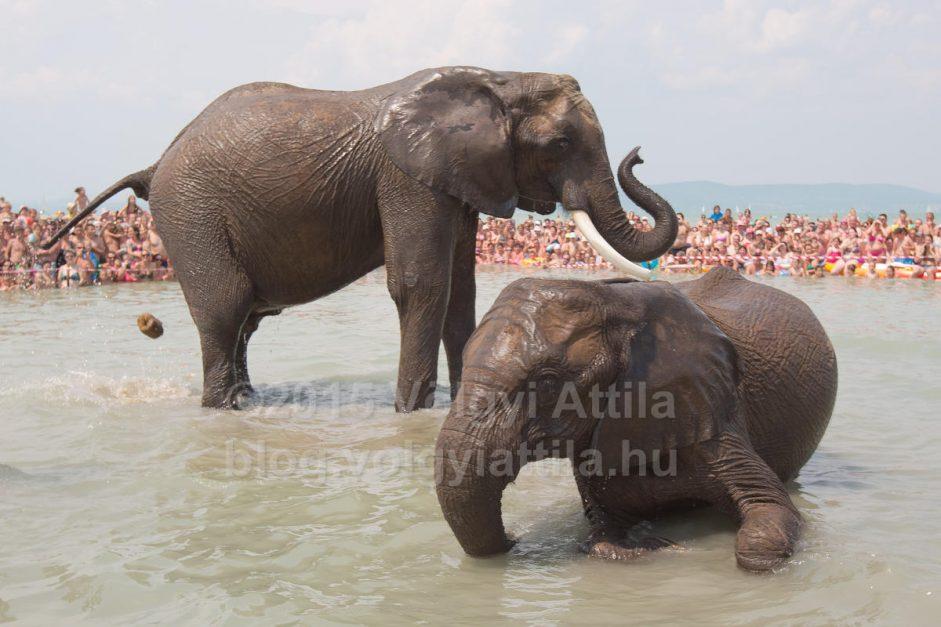 Nem csak pancsoltak az elefántok a Balatonban
